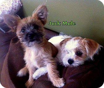 Shih Tzu/Yorkie, Yorkshire Terrier Mix Puppy for adoption in Danbury, Connecticut - Jack