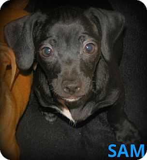 Dachshund/Terrier (Unknown Type, Small) Mix Puppy for adoption in Silsbee, Texas - Sam