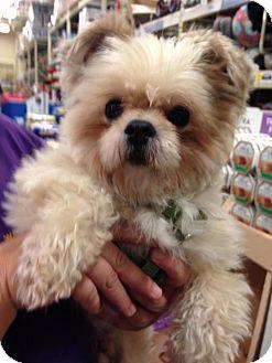 Shih Tzu/Pomeranian Mix Dog for adoption in Livonia, Michigan - Max
