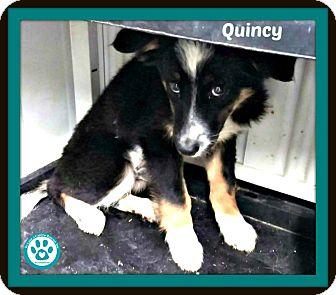 Australian Shepherd Mix Puppy for adoption in Kimberton, Pennsylvania - Quincy