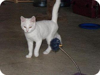 Domestic Shorthair Cat for adoption in HILLSBORO, Oregon - Snowpuff