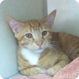 Domestic Shorthair Cat for adoption in Westminster, California - Glider