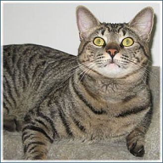 Domestic Shorthair Cat for adoption in Midway City, California - Rascal