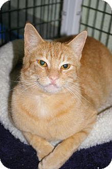 Domestic Shorthair Cat for adoption in Brooksville, Florida - Quincy