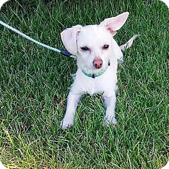 Terrier (Unknown Type, Small)/Chihuahua Mix Dog for adoption in Midvale, Utah - Marley