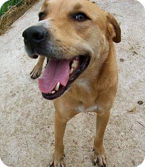 Hound (Unknown Type)/Labrador Retriever Mix Dog for adoption in Von Ormy, Texas - Bouser