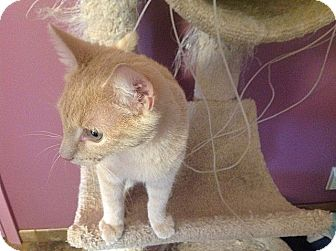 Domestic Shorthair Cat for adoption in Tampa, Florida - Ozzie
