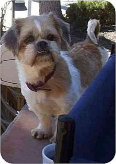 Shih Tzu Mix Dog for adoption in Downey, California - Portia