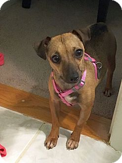 Chihuahua/Dachshund Mix Dog for adoption in Knoxville, Tennessee - Kisa