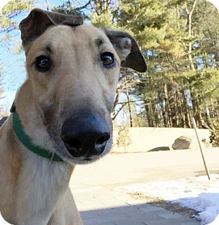 Greyhound Dog for adoption in Swanzey, New Hampshire - Lucas