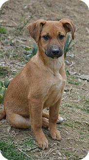 Terrier (Unknown Type, Medium)/Labrador Retriever Mix Puppy for adoption in Morristown, New Jersey - Moon