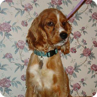 Cocker Spaniel Dog for adoption in Sugarland, Texas - Rufus