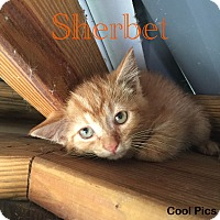 Adopt A Pet :: Sherbet - Jackson, TN
