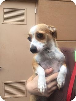 Chihuahua Mix Dog for adoption in Westminster, California - Violet