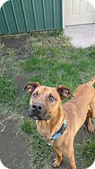 Boxer/Shepherd (Unknown Type) Mix Dog for adoption in Brookings, South Dakota - Manny