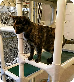 Domestic Shorthair Cat for adoption in Geneseo, Illinois - Glitter