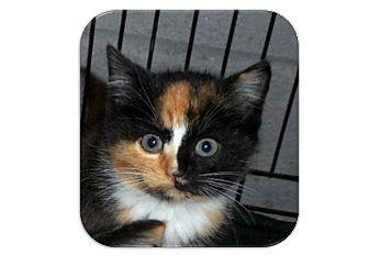 Calico Kitten for adoption in Washington, D.C. - Caroline