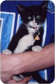 Domestic Mediumhair Kitten for adoption in Owatonna, Minnesota - Teon