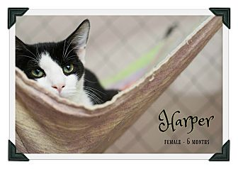 Domestic Shorthair Kitten for adoption in Fallbrook, California - Harper