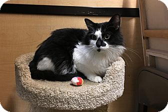 Domestic Longhair Cat for adoption in Riverside, California - Jax