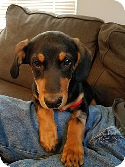 Miniature Pinscher/Dachshund Mix Puppy for adoption in North Brunswick, New Jersey - Cooper