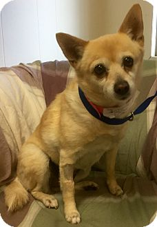 Pomeranian/Chihuahua Mix Dog for adoption in Phoenix, Arizona - Foxy