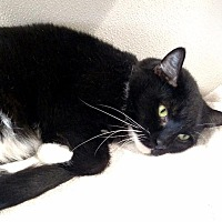 Domestic Shorthair Cat for adoption in Fremont, Ohio - Frack