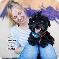 Adopt A Pet :: Bradley *Sight Impaired - Los Angeles, CA