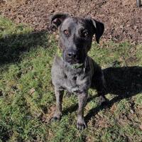 Adopt A Pet :: Shadow - Glen Allen, VA