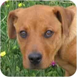 Rhodesian Ridgeback/Labrador Retriever Mix Puppy for adoption in Berkeley, California - Henna