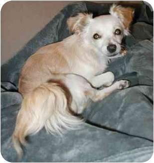 Chihuahua Mix Dog for adoption in San Diego, California - Bixby