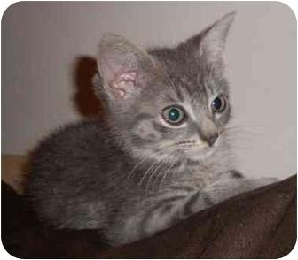 Domestic Shorthair Kitten for adoption in New York, New York - Olie