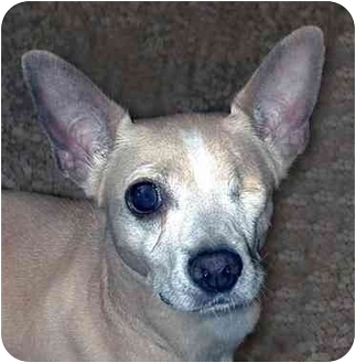 Chihuahua/Jack Russell Terrier Mix Dog for adoption in New York, New York - Mimi