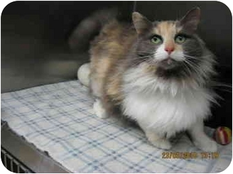 Domestic Longhair Cat for adoption in Grants Pass, Oregon - Peanut