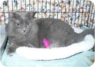 Domestic Longhair Cat for adoption in Colmar, Pennsylvania - Bay
