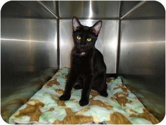 Domestic Shorthair Cat for adoption in Turlock, California - 0412-1119