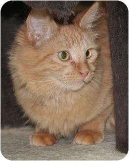 Domestic Longhair Cat for adoption in Edmonton, Alberta - Tucker