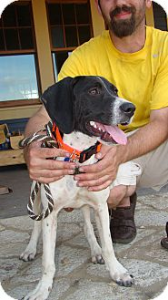 Pointer/Pointer Mix Dog for adoption in Wood Dale, Illinois - Bran Stark