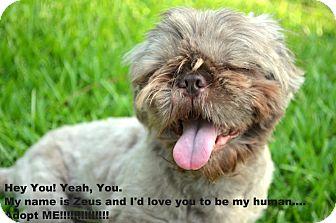 Shih Tzu Dog for adoption in Metairie, Louisiana - Zeus