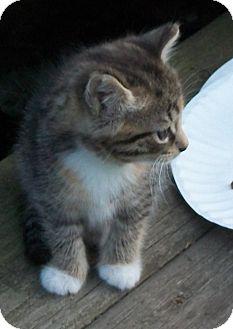 Domestic Shorthair Kitten for adoption in Acme, Pennsylvania - Tabby Girl