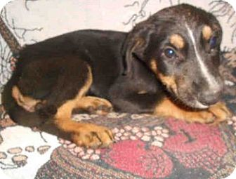 Rottweiler Mix Puppy for adoption in Yuba City, California - 9/17 Unnamed