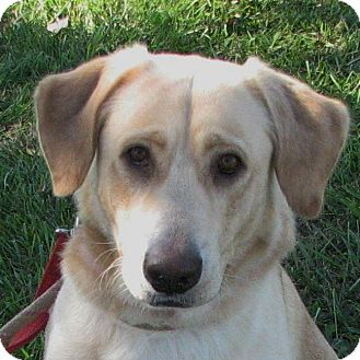 Labrador Retriever Mix Dog for adoption in Columbia, Illinois - Lars