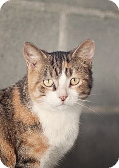 Domestic Shorthair Cat for adoption in Carencro, Louisiana - Helen