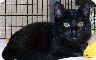 Domestic Shorthair Kitten for adoption in Grants Pass, Oregon - Alice