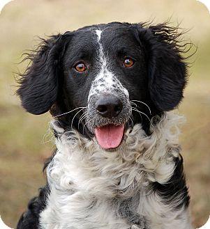 Springer Spaniel Poodle Mix Apolo   Adopted Dog   ...