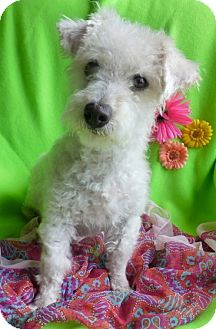 Maltese/Poodle (Miniature) Mix Dog for adoption in Irvine, California - Rosalyn