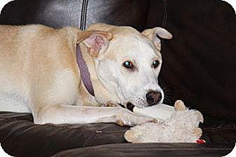 Labrador Retriever Mix Dog for adoption in Arden, North Carolina - Duncan