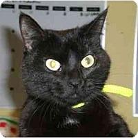 Adopt A Pet :: Midnight - Lombard, IL