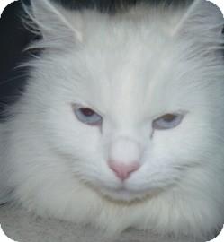 Domestic Longhair Cat for adoption in Hamburg, New York - Willow