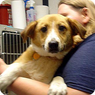 Collie Mix Dog for adoption in Manassas, Virginia - Naomi